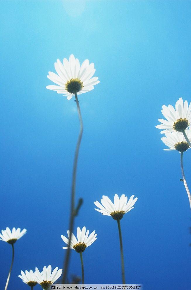 菊花 白花 阳光 蓝天 花朵 植物 自然 唯美 特写 角度 环保 绿色 生态