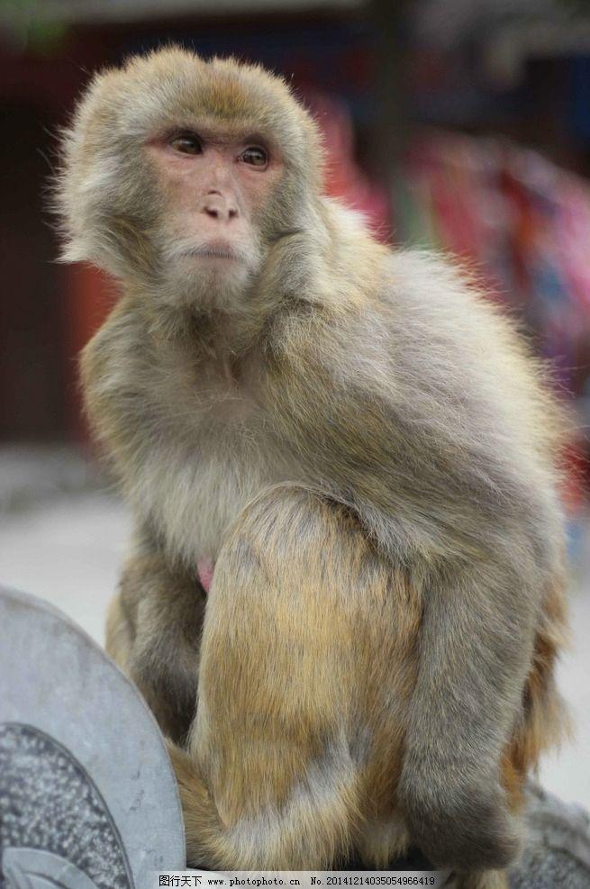 太行猕猴 猴 猕猴 小猴 摄影 猴群 摄影 生物世界 野生动物 72dpi jpg