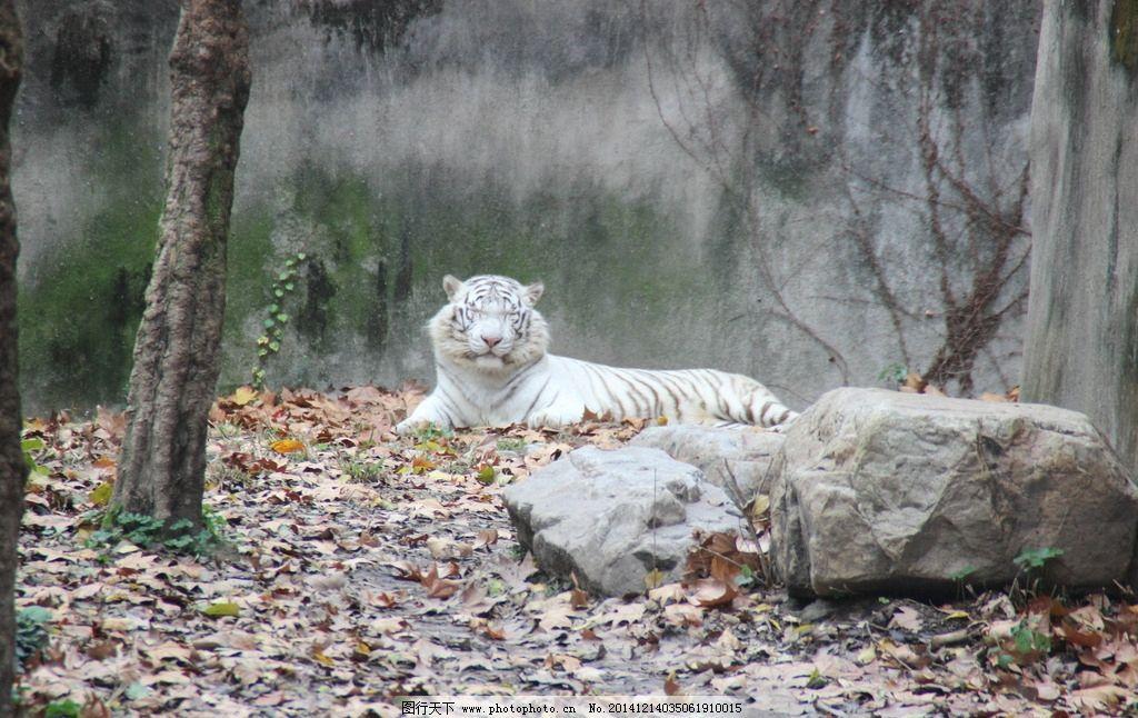 基因变异 虎舍 保护动物