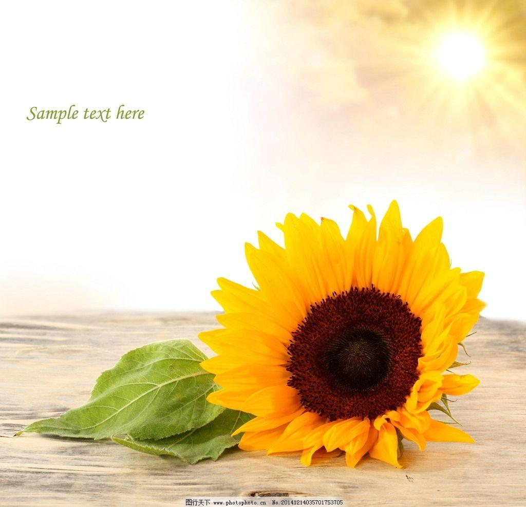 阳光 向日葵图片