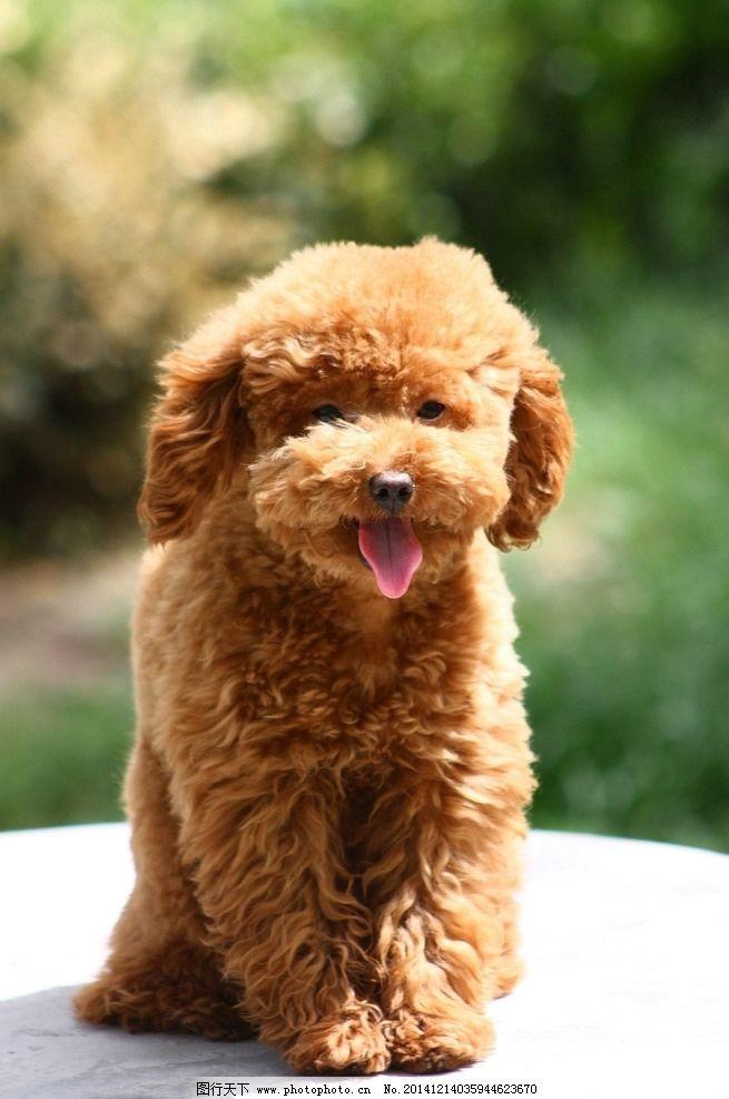 泰迪 贵宾犬 泰迪犬 狗狗