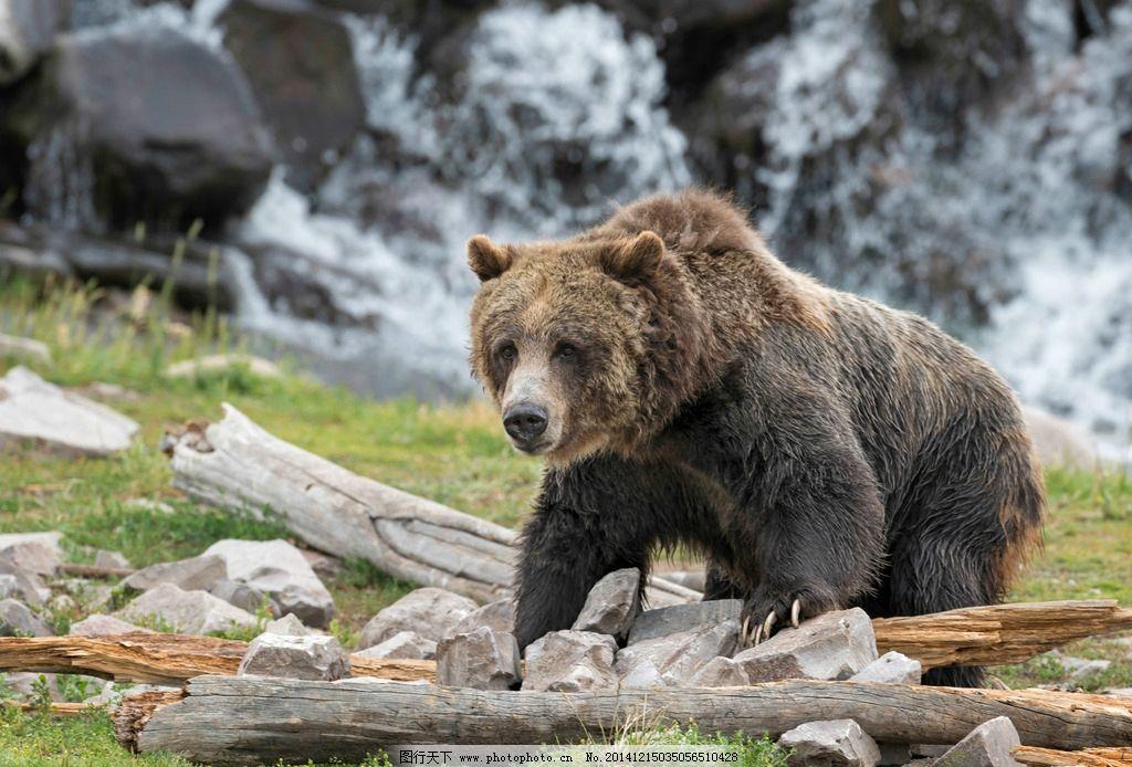 棕熊 北美棕熊 熊 灰熊 狗熊 大熊 野生动物 动物 野生动物 摄影 生物