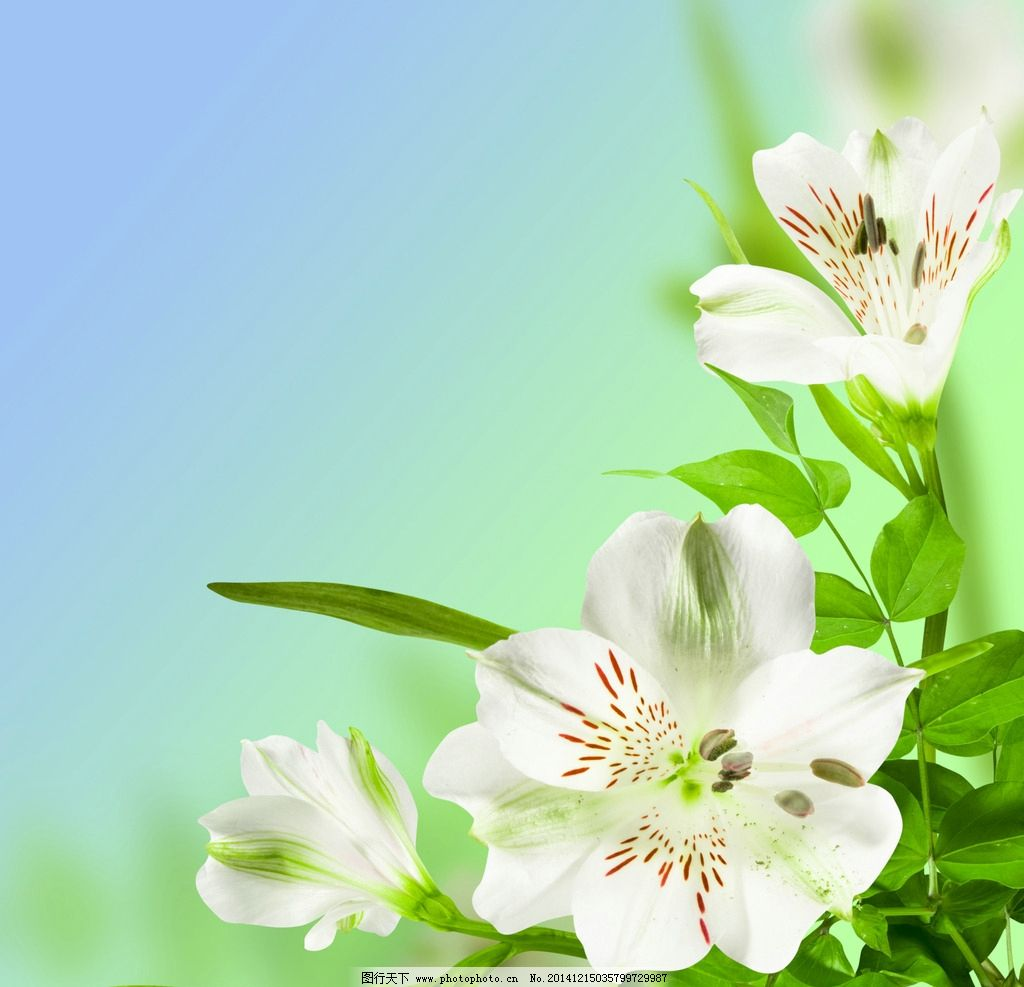 百合花背景 清新 绿色背景 百合花图片 摄影 花草风景 生物世界图片