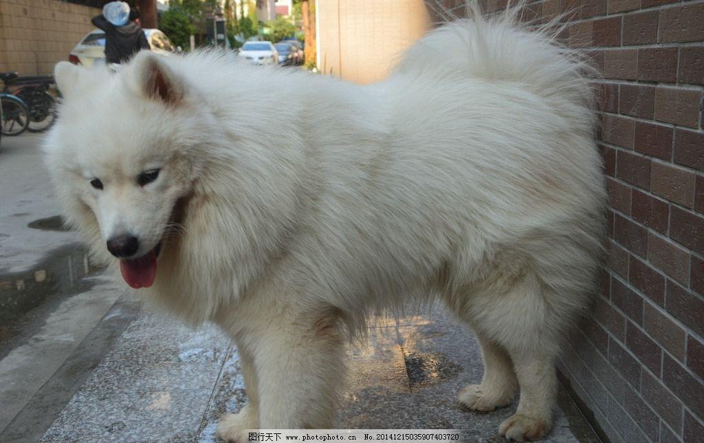 萨摩耶/萨摩耶 小狗图片