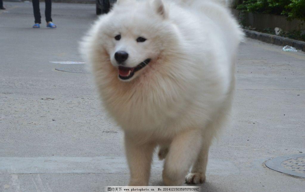 萨摩耶/萨摩耶 狗图片