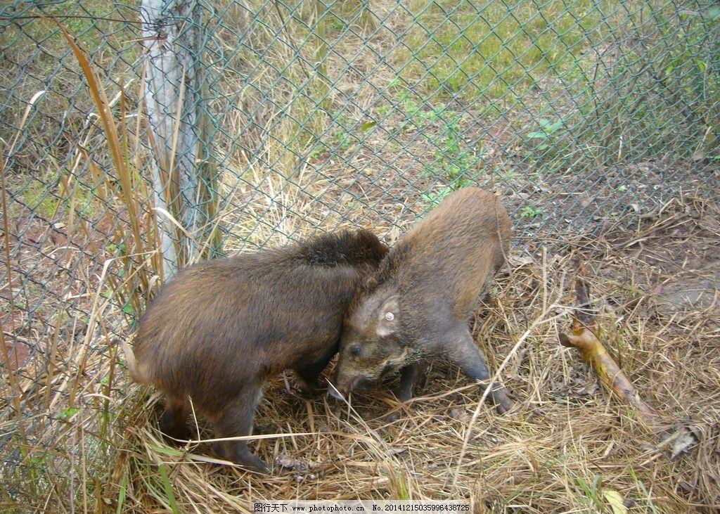 野猪动物图片大全