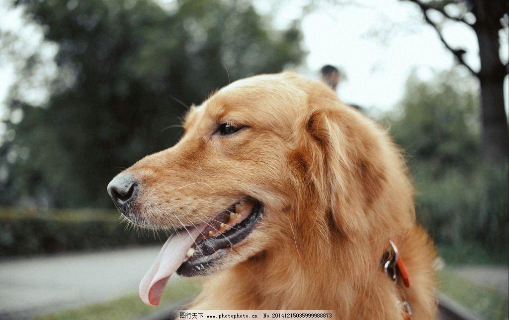 可爱 金毛 小狗 狗狗 宠物 小清新 摄影 生物世界 家禽家畜 300dpi