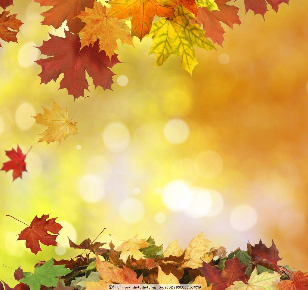 秋季落叶 落叶 树叶 枫叶 红叶 枯叶 叶子 秋叶 枯萎 飘落 背景 枫叶图片