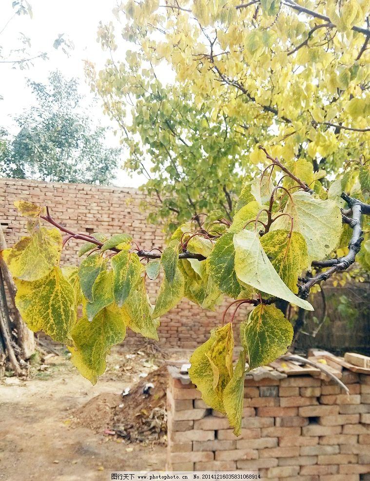 树叶 杏树叶子 黄叶 秋天 秋意 树木 秋冬 树枝 摄影 树木树叶 摄影