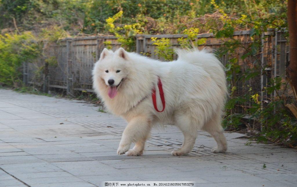 萨摩耶/萨摩耶 宠物狗图片