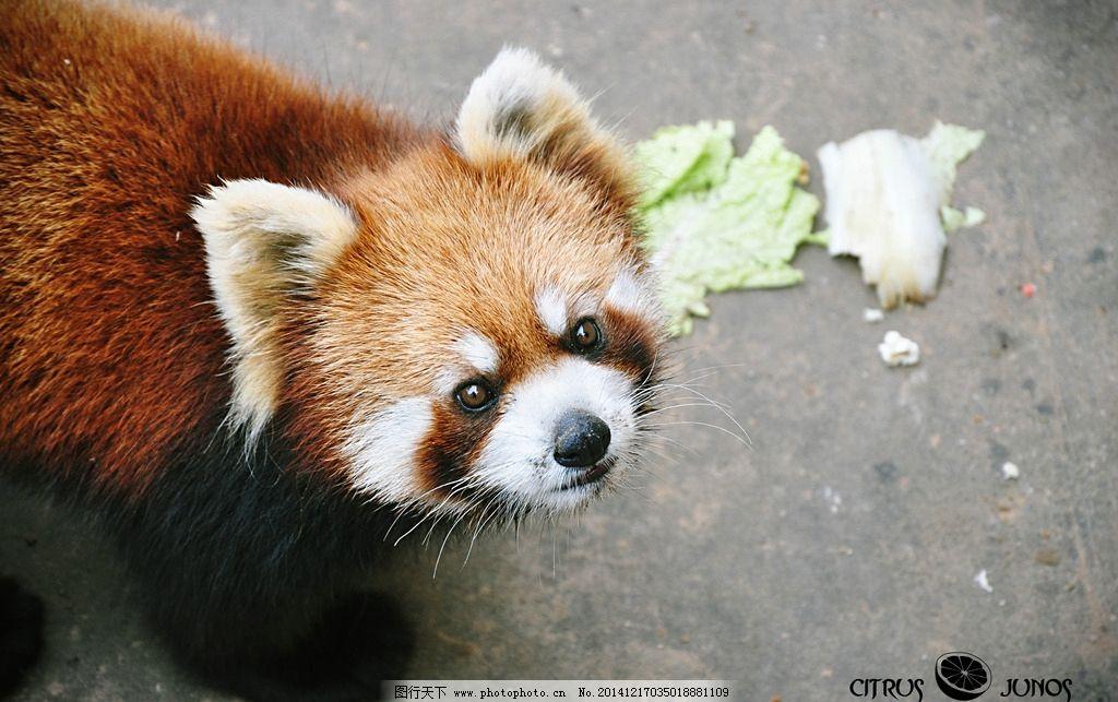 浣熊图片_野生动物_生物世界_图行天下图库