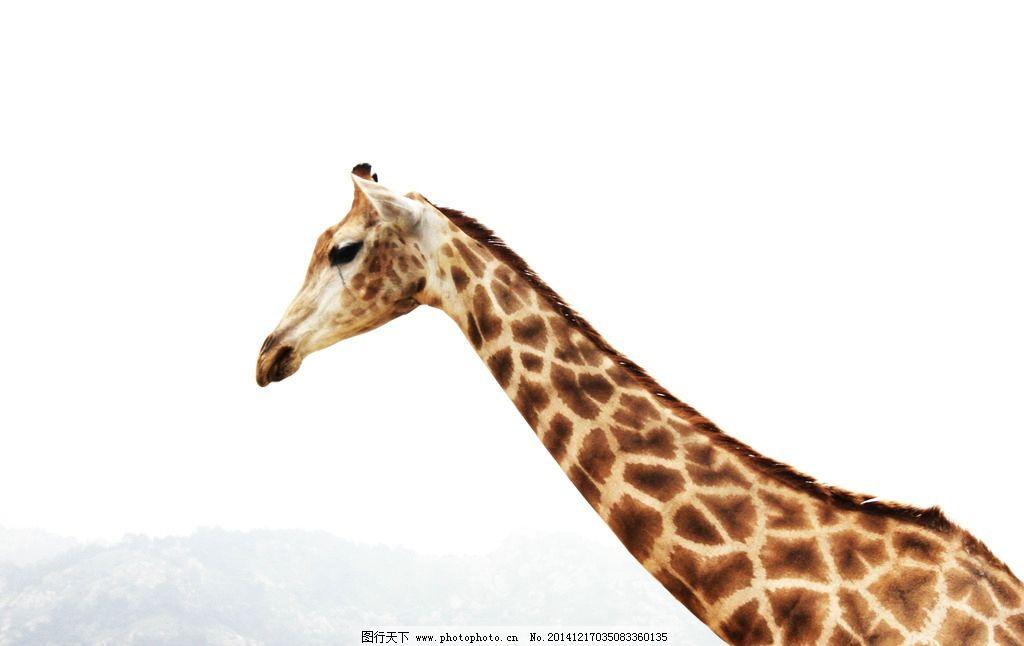 长颈鹿 动物园 野生动物