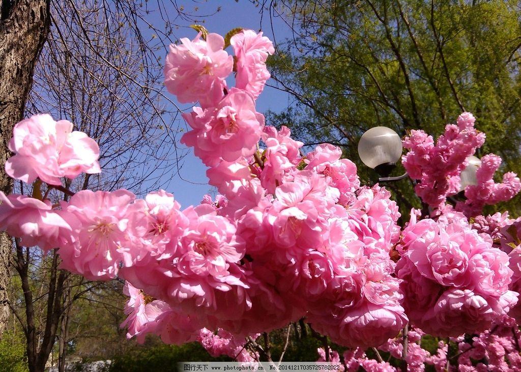 桃花 风景 自然 美图 风光 春季 摄影 生物世界 花草 72dpi jpg