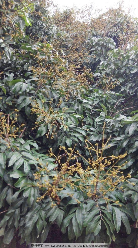 结果的龙眼树 开花 结满果子 南方 摄影