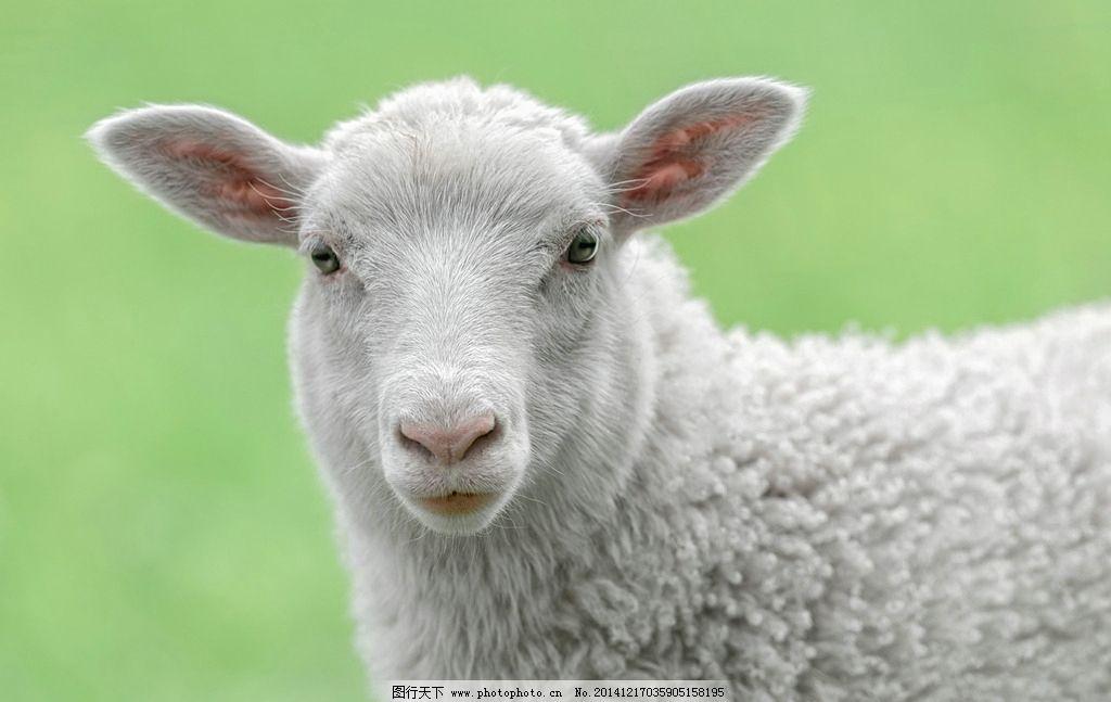 可爱的真绵羊图片