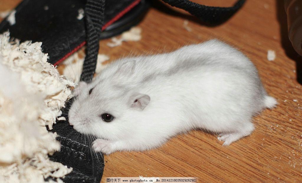 银狐仓鼠 宠物 动物 可爱