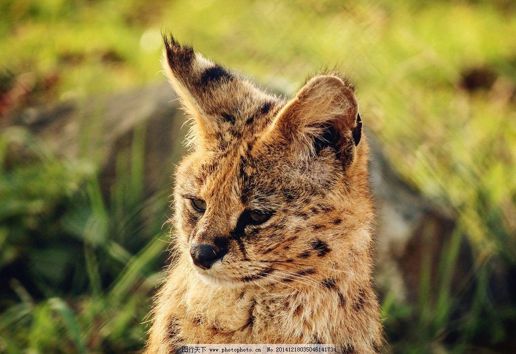 秦皇岛野生动物园薮猫图片