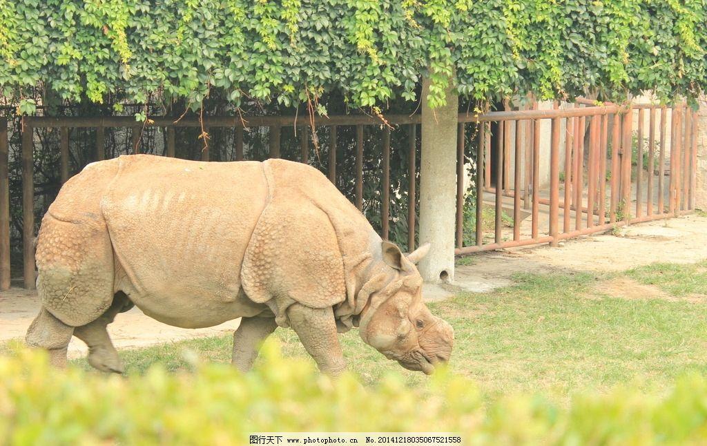 犀牛 动物员 吃草的犀牛 陆地牛 摄影 生物世界 野生动物