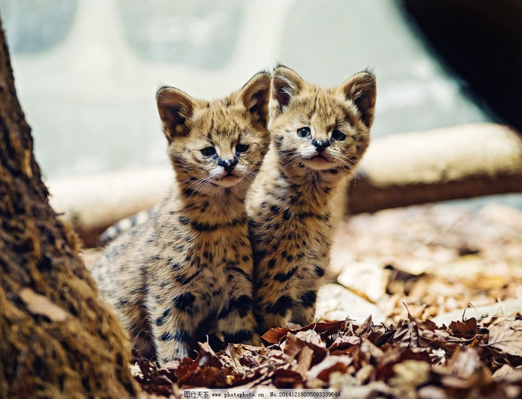 野生动物 野生动物园 薮猫 猫科动物 可爱  摄影 生物世界 野生动物 2