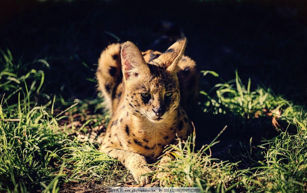 中国猫科动物图片大全