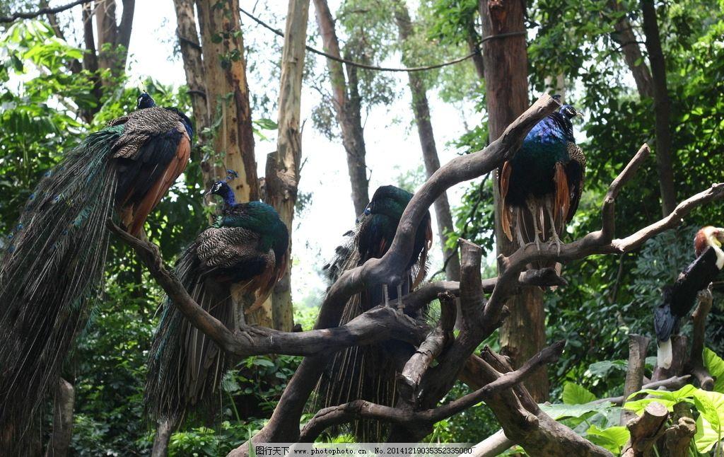 孔雀 飞禽 森林 动物 长隆动物园 摄影 生物世界 鸟类