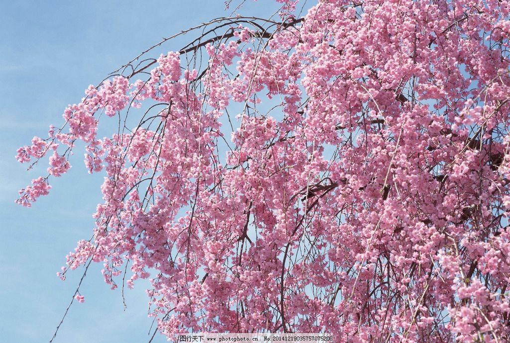 日本樱花歌曲_好听的日本歌曲像樱花樱花想见你这种的-