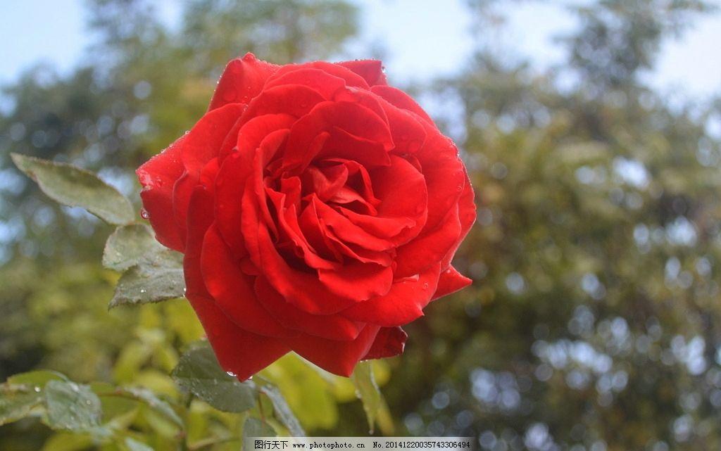 玫瑰花植物图片