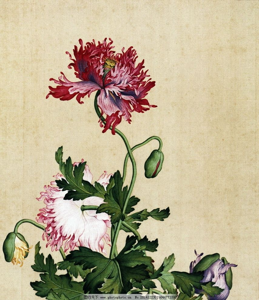 国画罂粟花 工笔画 花鸟 中国风 中国画 花朵 花卉 花草 植物