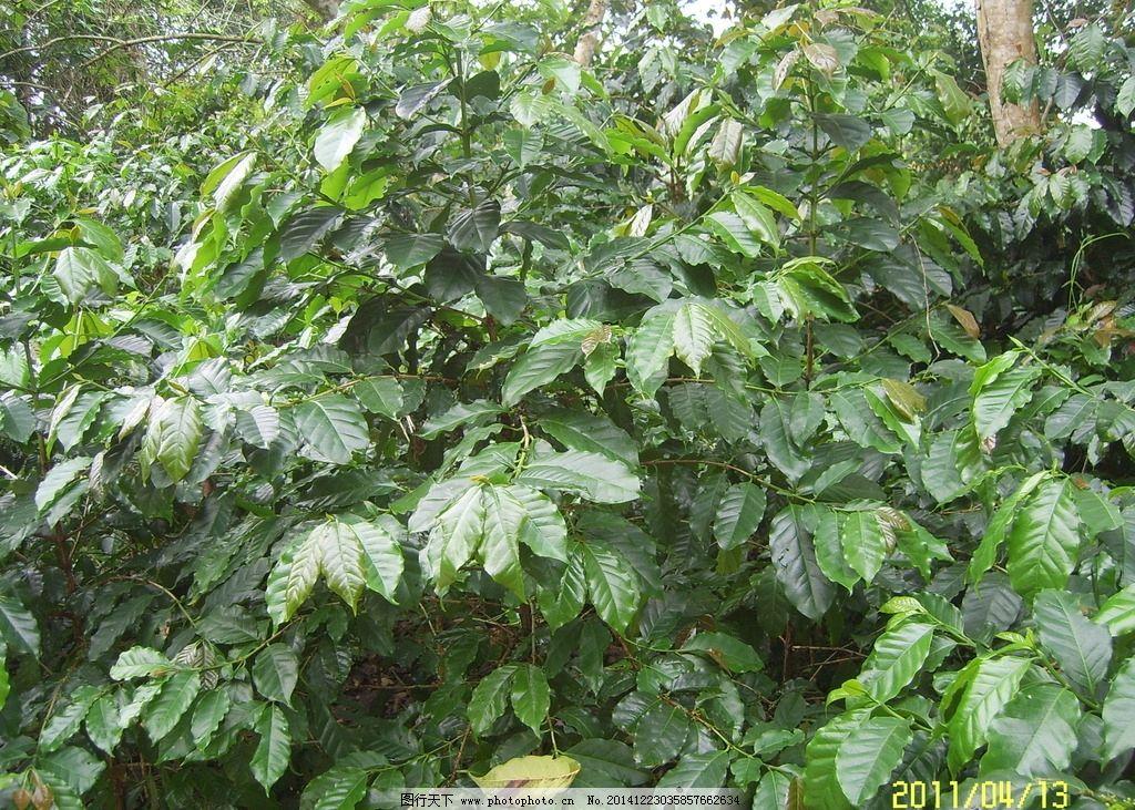 绿叶 叶子 绿色 枫叶 景色 摄影 生物世界 树木树叶 96dpi jpg