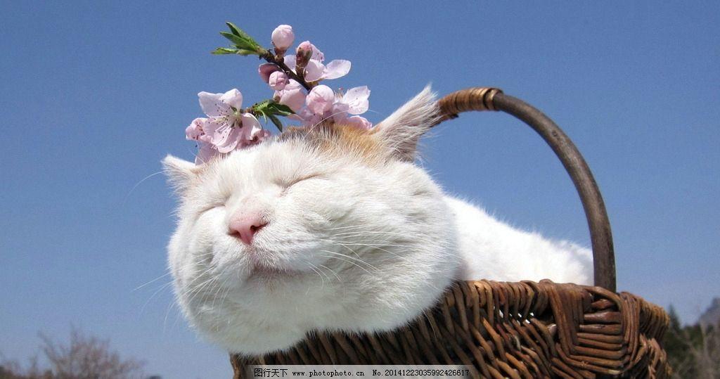 大脸猫 猫叔 萌宠 宠物 白猫 猫咪 家宠 可爱 篮子 竹篮 动物 生物
