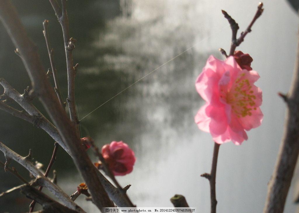 红梅花 花苞 含苞待放 树枝 水面 摄影 生物世界 花草 180dpi jpg