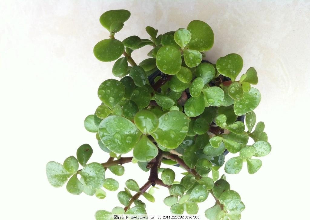 小盆栽植物 绿色 小清新 圆叶 露珠 摄影 摄影 生物世界 花草 72dpi