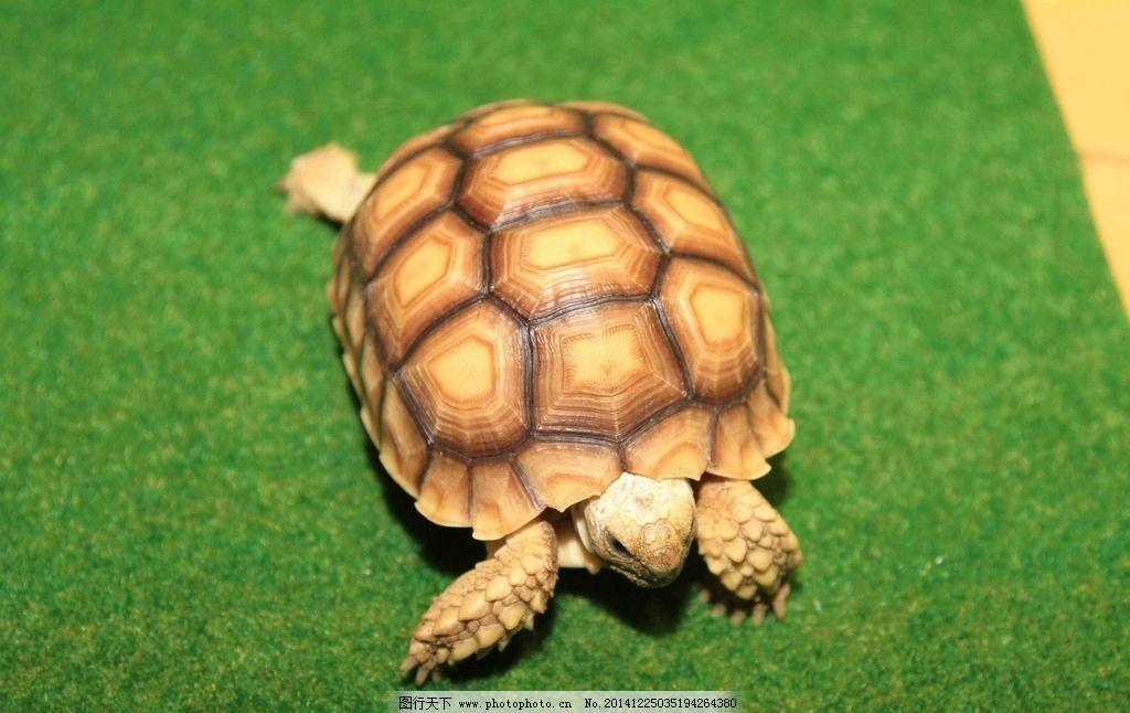 乌龟 黄龟 老龟 动物 黄色乌龟 图片素材 摄影