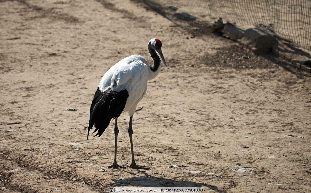 仙鹤 珍稀动物 生物 野生动物 保护动物 摄影 生物世界 鸟类
