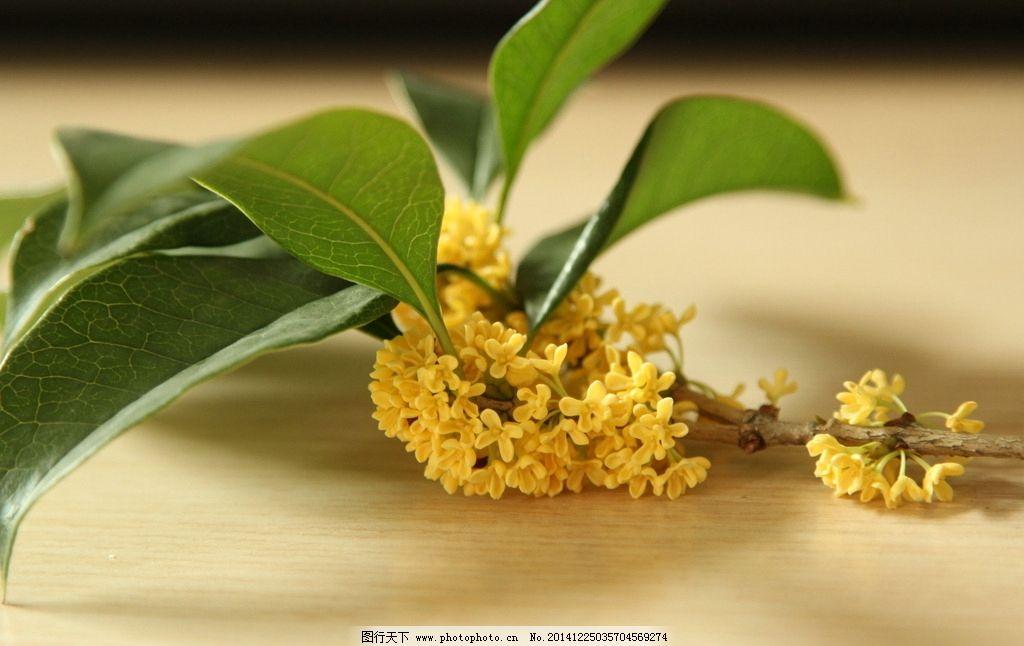 黄色桂花树叶图片