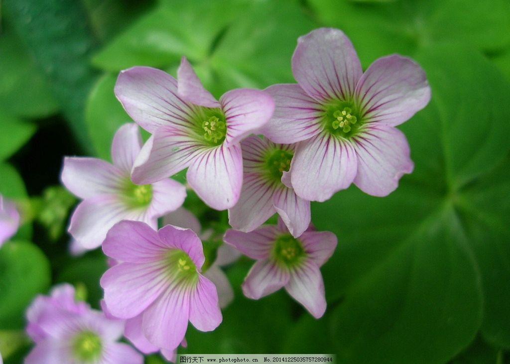 四叶草花 生物世界 花草 绿色 粉色 清新 摄影 壁纸