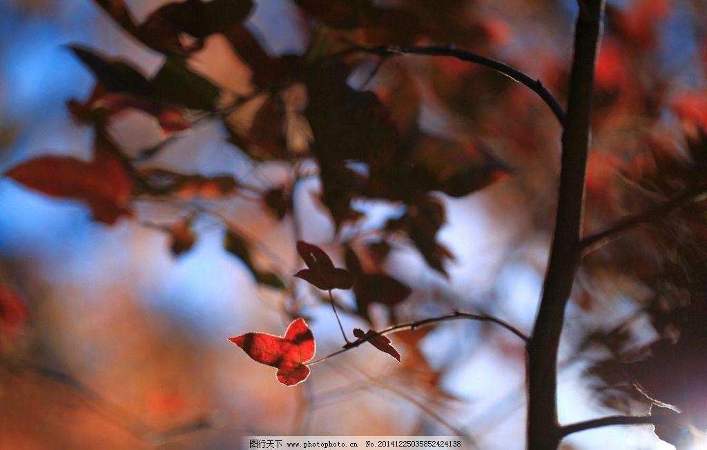 红枫叶 红叶 树叶 冬季 高清 摄影 生物世界 树木树叶 72dpi jpg图片