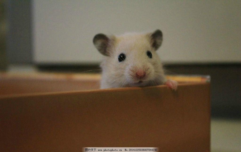 仓鼠 啮齿类动物 可爱宠物