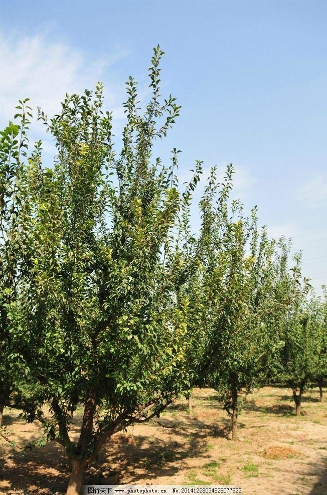 果树 树木 水果树 林木 林子 绿色植物类 摄影 自然景观 田园风光 96