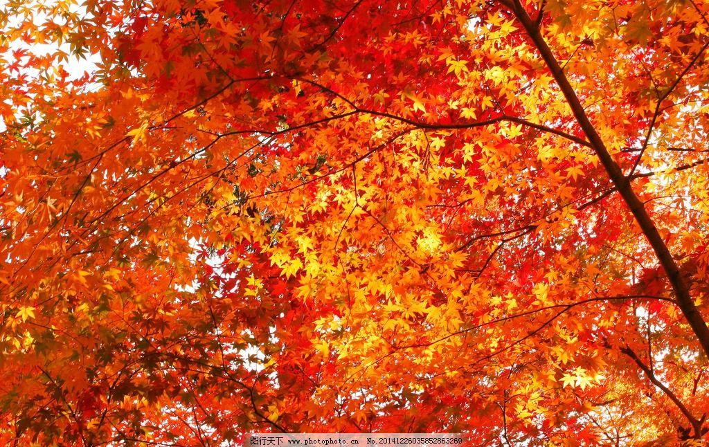 秋天枫叶树简笔画
