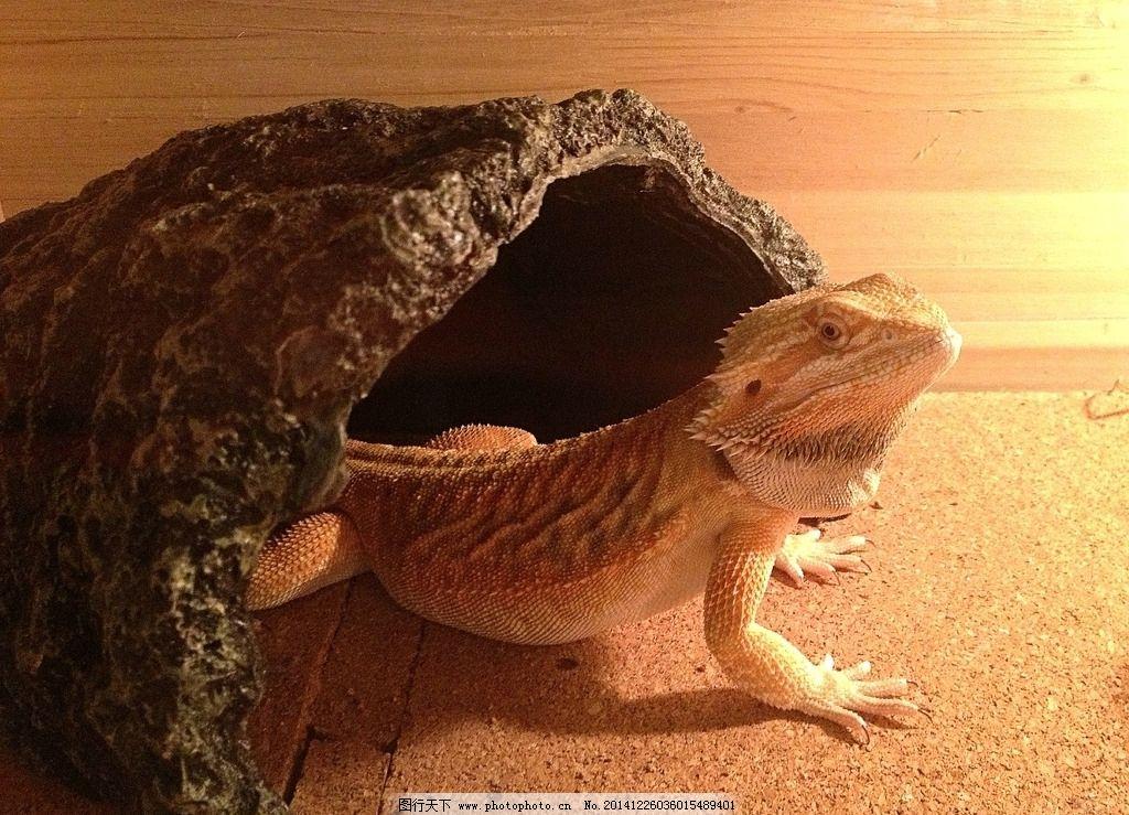 蜥蜴 动物 爬行动物 宠物 lizard 动物 摄影 生物世界 其他生物 72dpi
