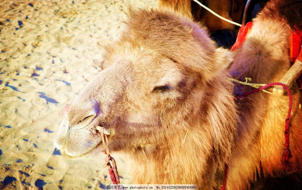骆驼 沙漠 鸣沙山 特写 沙子  摄影 生物世界 其他生物 300dpi jpg