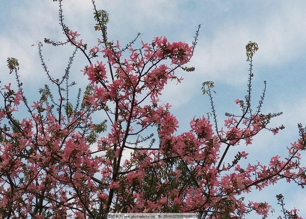 美丽异木棉花  花卉 花朵 粉 粉红的花 一束束的花 摄影 生物世界