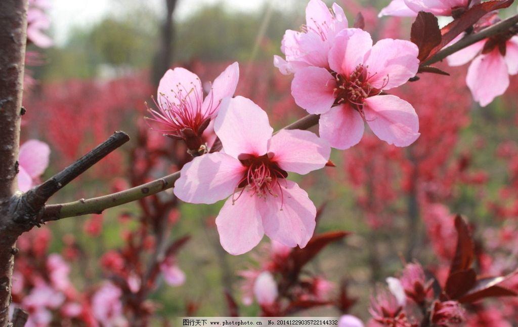 桃花 春天 花卉 桃树 花朵 摄影
