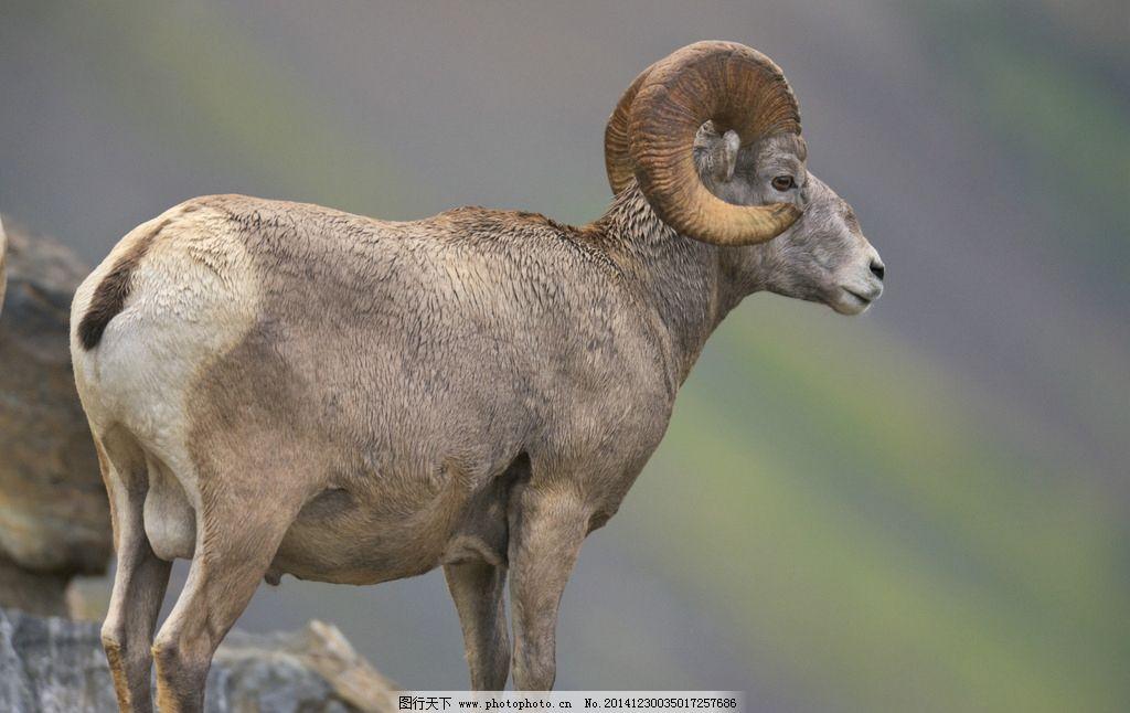 动物羊 绵羊 灰色 摄影 生物世界 野生动物