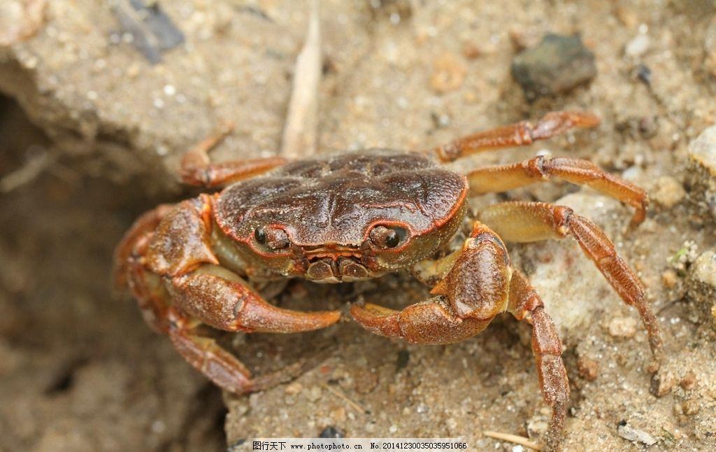螃蟹图片_野生动物_生物世界