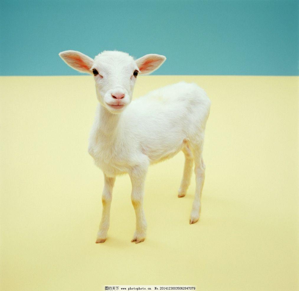 动物羊图片_野生动物_生物世界_图行天下图库