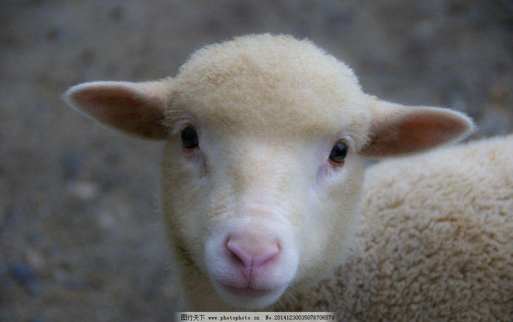 动物羊图片