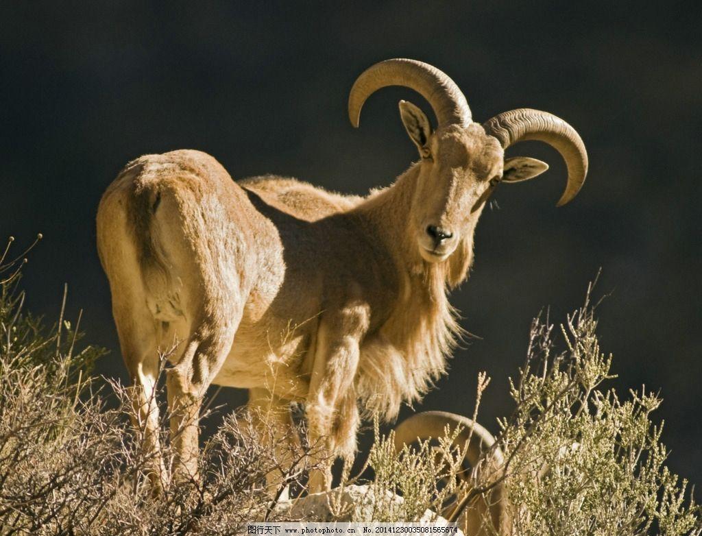 动物羊 羊 动物 绵羊 灰色